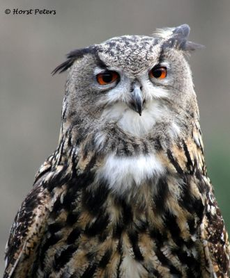 Uhu / Eagle Owl by bluesgrass