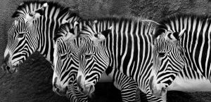 Zebra I by 0goldfinger0