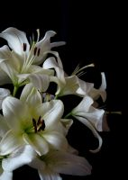 White Lily Stock III by Avestra-Stock