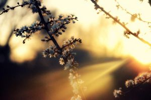 blossom in the sun by vicxkyz