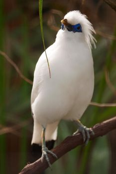 Bali Myna by Jay-Co