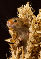 Harvest Mouse by mansaards