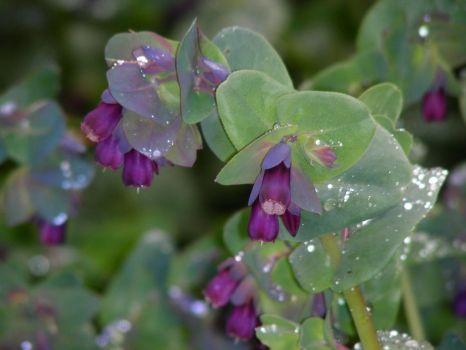 Cerinthe major by DoodlebertDesigns