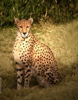 Cheetah's glare by TlCphotography730