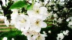 Cherry blossom tree 2 by snowpups123