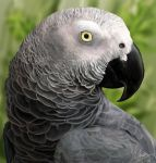 African Grey Parrot by FleetingEmber