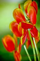 Tulips by Gooiool