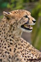 Chirping Cheetah by darkSoul4Life