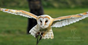 Barn Owl Approach by Shadow-and-Flame-86