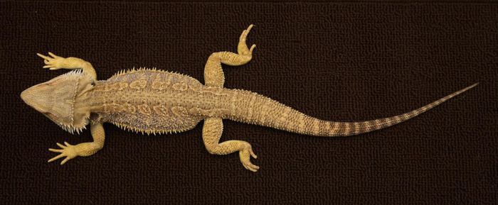 Bearded Dragon 4 by NickiStock