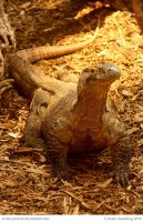 Komodo Dragon by In-the-picture