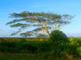 Samoan Tree by Bambi-Claire