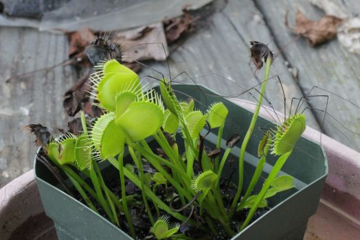 Venus Flytrap by daisyjoy