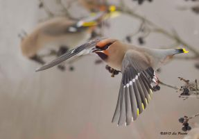 Bohemian Waxwing 5 by Les-Piccolo