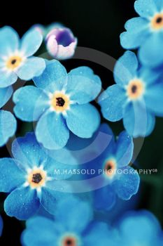 Forget me not by Finvara