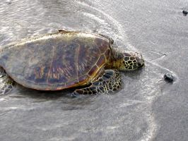 Turtle Stock by CRStock