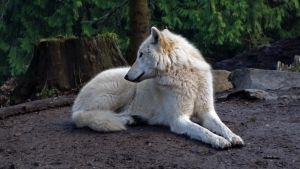 White Grey Wolf VI by Track-Maidens