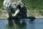 White Tiger 5 by CastleGraphics