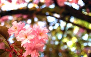 Cherry blossom 1 by Pulven