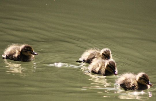 duckling by gayname
