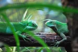 Pair of Fiji Banded Iguana by ManitouWolf