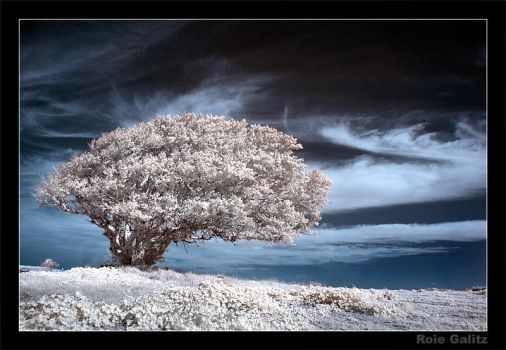 The Old Tree by RoieG