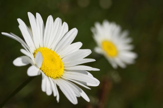 Two Daisies by Azagh