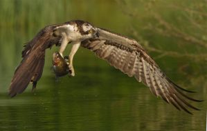 a great day - Osprey with Rainbow Trout by Jamie-MacArthur