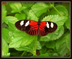 Red and Black Butterfly by FriendlyButterfly