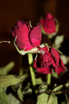 Dying roses by Missmonick
