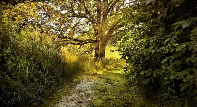 The old oak tree by Pajunen