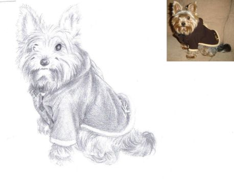 Yorkshire terrier by Batri
