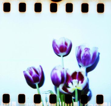 Diana 2 32 Tulips by LDFranklin