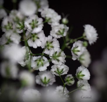 Paniculata by crissial