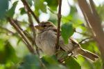 Sparrow by darkcalypso