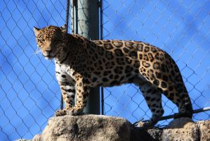 The beautiful the bold the Jaguar by ahley