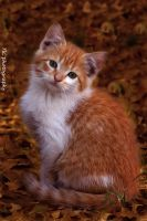Fall kitten by TlCphotography730