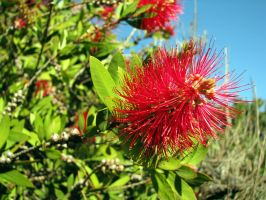 Bottle Brush by bethabus