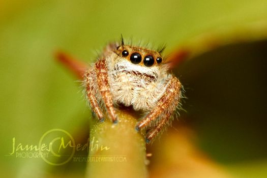 jumping spider 61 by JamesMedlin
