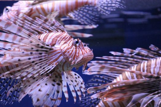 Lion Fish by LHufford