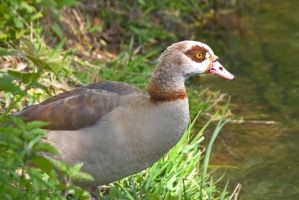 Egyptian Goose by Sycamorewest