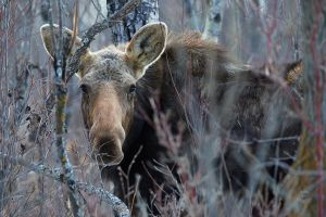 Moose -A Gentle Giant by JestePhotography