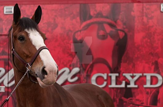 Budweiser Clydesdale by NBrownPhotography